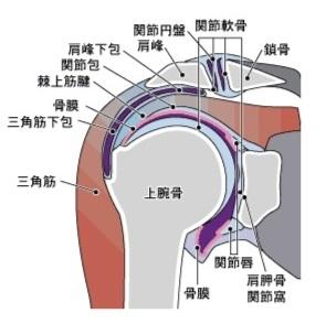 肩関節の構造