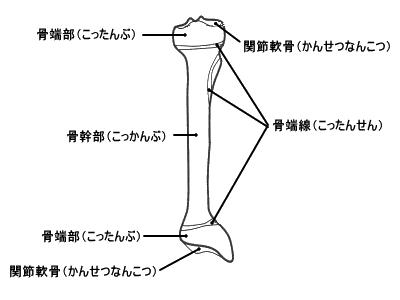 長管骨の外部構造