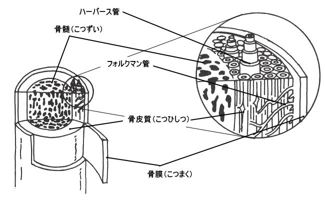 長管骨の内部構造