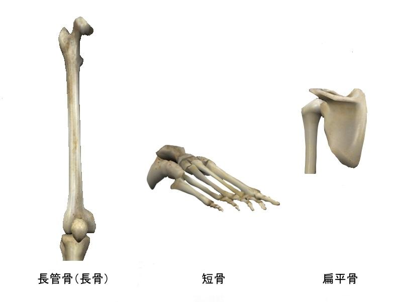 骨の形状による分類