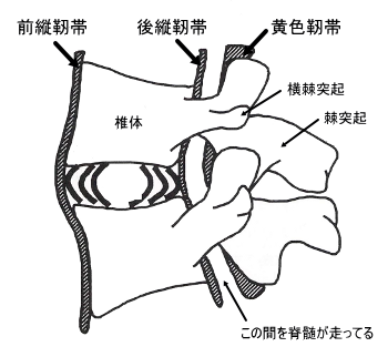 椎間関節の構造