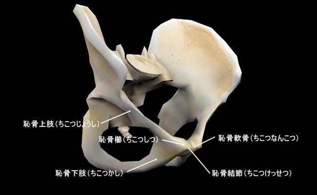 恥骨の構造