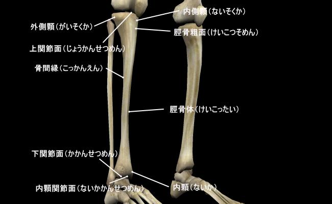 脛骨(けいこつ) | 骨と関節の...