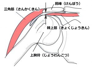 肩関節周囲の構造